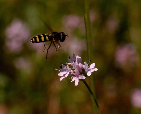 Pollinator Diversity in Restored Area